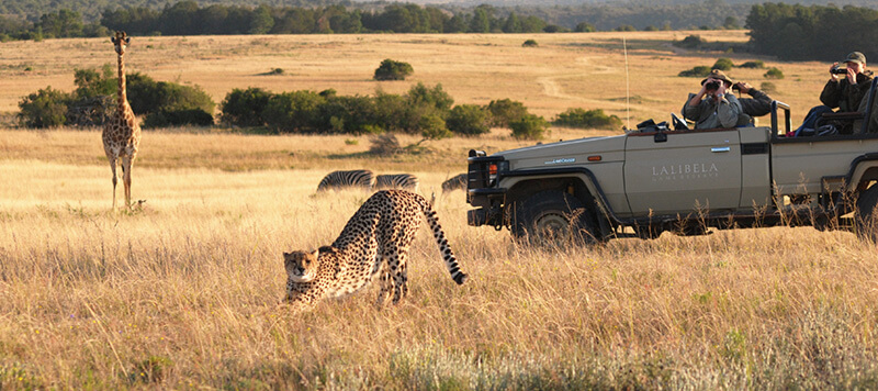 Lalibela Game Reserve - Game Viewer with cheetah