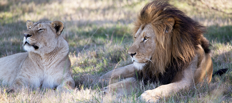 Lalibela Game Reserve - Male and female lions