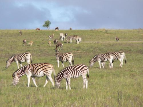 Plains Zebra herd