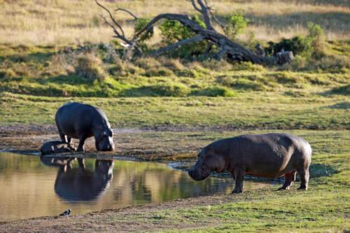 Hippos at watering hole