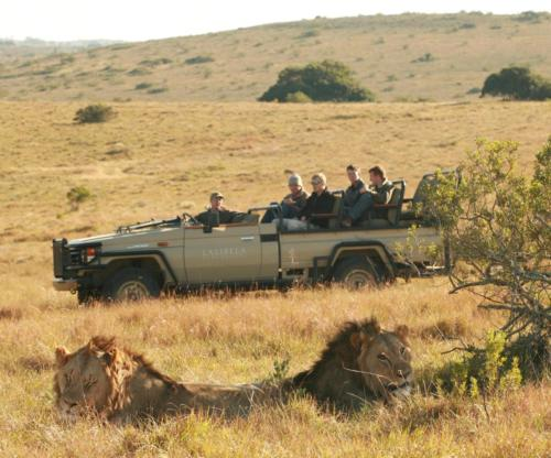 Guest game drive Lions