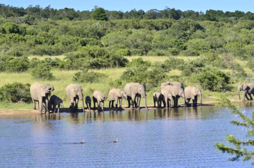 Water side elephant herd
