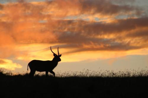 USED Male waterbuck at sunset