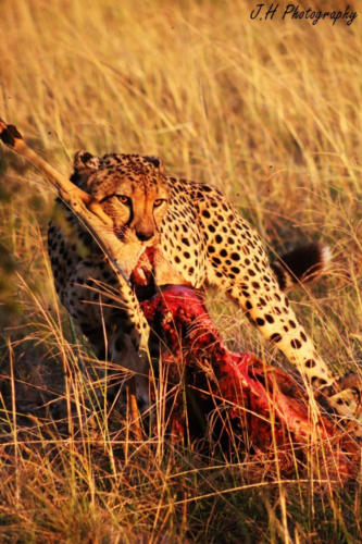 WhatsApp Image 2018-07-11 at 13.28.52 Male cheetah - impala kill