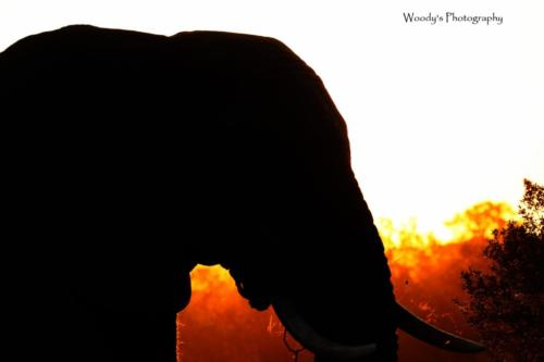 used A very short opportunity of beauty captured, a warm sunset and a gentle giant.