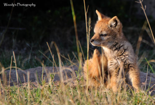 used Black-backed Jackal pup waiting for mom!